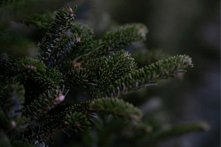Close up of pine branches of a Christmas tree